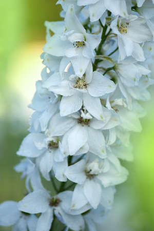 Delphinium flowers plant growth in organic greenhouse garden. Annual flowering plant on flowerbed.