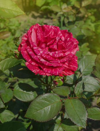 Colorful bush of striped roses in the garden. Red roses with white stripes Red Intuition Banque d'images