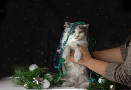 Kitten broke a Christmas tree. Woman cleans after the cat has turned over the Christmas tree. Beautiful cat near a Christmas tree