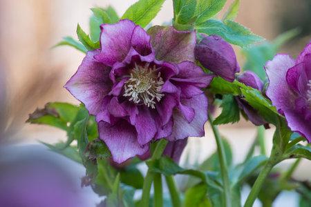 Lenten rose Double Ellen Picotee which naturally nod. Evergreen plant Hellebore rose flower or lenten rose.