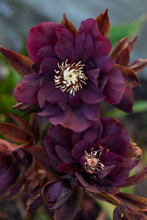 Lenten hellebore or Christmas rose flowers in springtime. Hellebores semi double flowers by the borders of a path in the garden. Hybrid hellebores or Christmas rose flower.