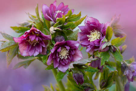 Red purple helleborus plant growing in a garden. Hellebores Double Crown Rose bloom in late winter to early spring.