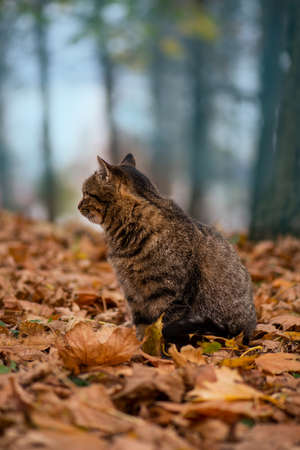 Spotted tabby beautiful cat. Striped tabby cat. Adorable tabby cat walks in the autumn park.