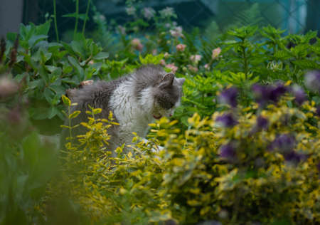 Freshness and pleasant aroma of summer herbs and flowers. Funny curious cat sniffs flowers on a clear day.