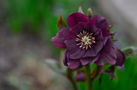 Lenten hellebore care in the garden. Christmas Rose is one of the earliest flower blooms. Hellebores Double Ellen Purple