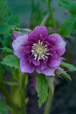 Lenten rose or hellebore flowers Double Ellen Picotee which naturally nod. Evergreen plant Hellebore rose flower or lenten rose. Poisonous winter flowering plant Double Ellen Picotee 免版税图像