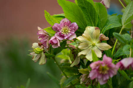 Winter rose or Christmas rose flower with evergreen foliage. Evergreen plant Hellebore Stained Glass flower.