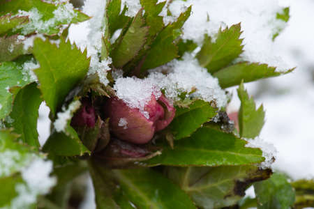 Christmas rose flower blossoming from snow. Hellebore blooms in the snow in winter.