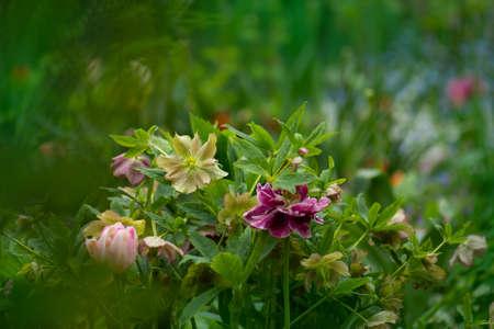 Macro shot Hellebore Marlon. Early spring flowering rose like Hellebore flowers