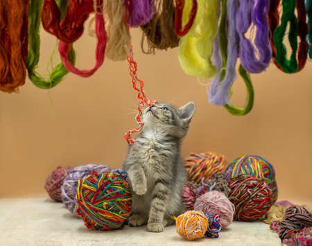 Baby kitten playing with many ball of woolen threads. Nice kitten playing clew or woolen ball. 免版税图像