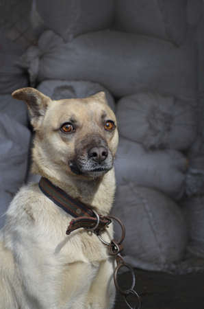 Surprised curious dog in village. Adult village dog on farm. Portrait of a mongrel dog on the farm.