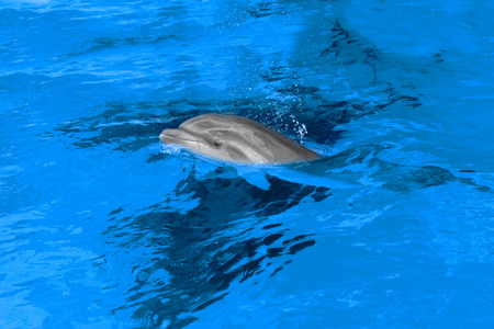 Dolphin mother with her little dolphin swims in the pool. Child is having fun in the water and have fun playing  photo