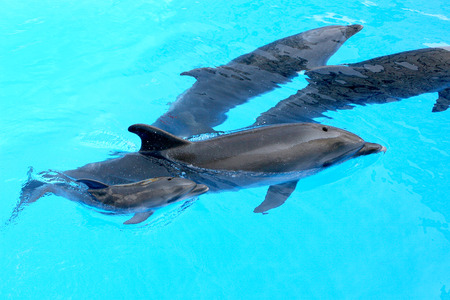 Family of dolphins, mother and father with his young dolphin swims in the pool. Child is having fun in the water and have fun playing  photo