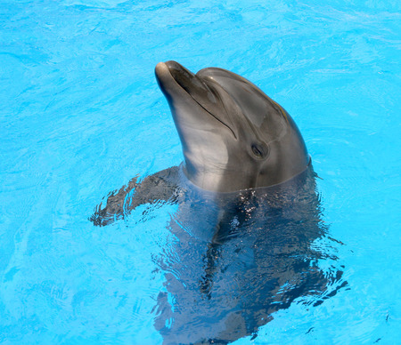 Glad beautiful dolphin smiling in a blue swimming pool water on a clear sunny day  photo