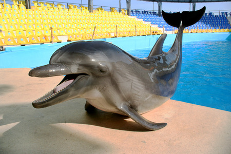 Glad beautiful dolphin smiles and waits for fish meal on the rim of the pool on a bright sunny day  photo