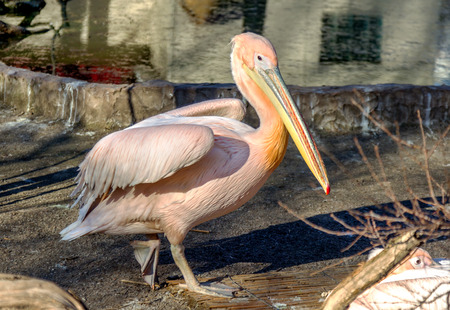 Portrait of a European white pelican , Pelecanus onocrotalus. Exotic birds with magnificent plumage and huge beak with a yellow bag leather. Expressive waterfowl photo