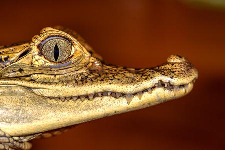 Head of a crocodile, eyes in closeup selective focus photo