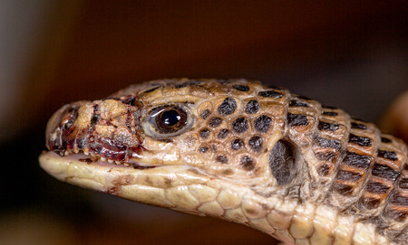 Head of the snake, selective focus on eye photo