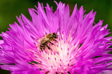 Bee on a beautiful flower blossoming lilac in the spring garden photo