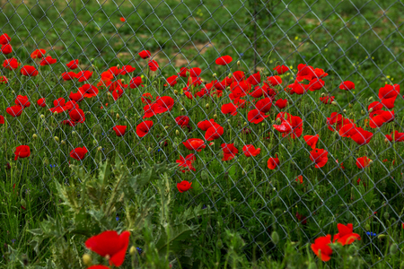 Field of red opium poppies behind metal fence net. Iron grid protects field of opium poppy. Beautiful flowers of red opium poppies. Poppy field is guarded behind grid of fence Stock Photo
