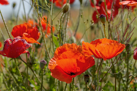 Red poppy flowers on the spring field in bright sunny day