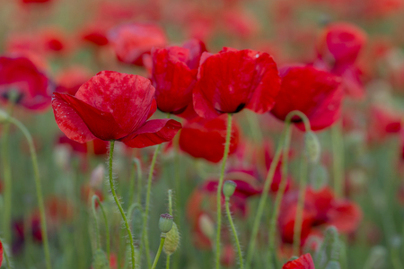 Flowers Red poppies blossom on wild field. focus blur