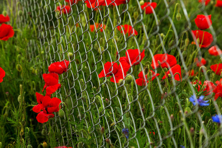 Field of red opium poppies behind metal fence net.