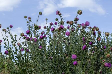 De bloemhoofddistel Mariadistel in volle pracht. Geneeskrachtige plant in de natuurlijke omgeving.