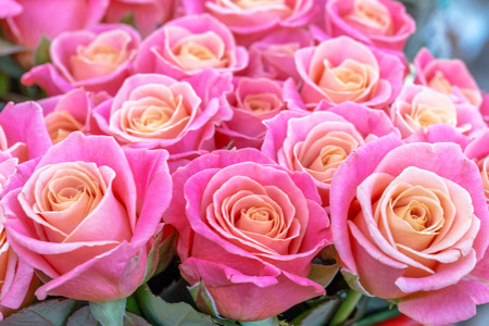 beautiful romantic background of pink roses for a gentle background design
