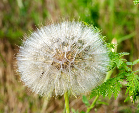 Beautiful flowers of a dandelion seeds flying let the wind