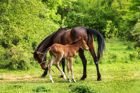 Domestic horse grazing in a mountain valley in the pasture on a background of Crimean mountains. Foal with his mother in the pasture fed with milk. Kumiss.