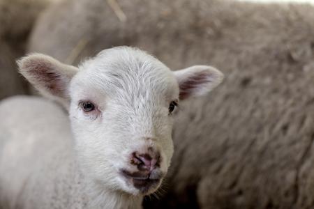 好奇心の美しい、家畜のためのペンで干し草と羊と羊を shorn ない。視野の浅い深さの選択焦点。動物とのデザインの背景として