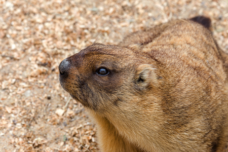 Alpine marmot (Marmota Marmota) in the aviary zoo. The protagonist of the beautiful tradition - Groundhog predicts the weather in Groundhog Day.