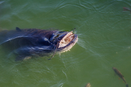 거 대 한 강 메기와 생선 Yaz 체르노빌 원자력 발전소, Pripyat 강 냉각 연못 냉각. 큰 메기와 독이 빵을 먹는다. 강에서 거 대 한 강 메기의 상위 뷰