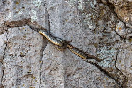 Yellow-bellied snake basking in the sun in a stone crack. The biggest snake in Europe. Up to 2.5 meters. Very aggressive snake. Selective focus. Movement Attack Stock Photo