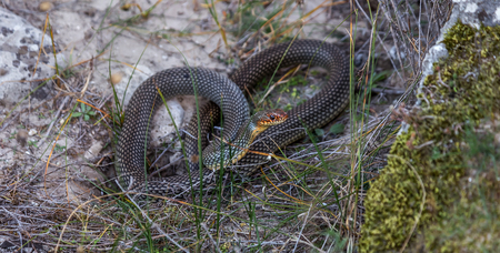 forked: Yellow-bellied snake basking in the sun in a stone crack. The biggest snake in Europe. Up to 2.5 meters. Very aggressive snake. Selective focus. Movement Attack Stock Photo