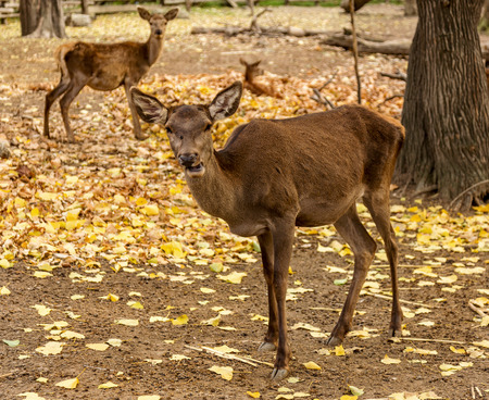 The deer in the pen on the farm, herd of deer resting in yellow autumn foliage of the park