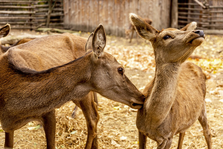 The deer in the pen on the farm, herd of deer resting in yellow autumn foliage of the park. Males dropped deer antlers. Selective Focus Stock Photo