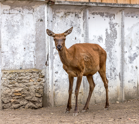 whitetailed: Deer hunting in the paddock on a farm being treated. Family of deer in the spacious aviary zoo Stock Photo