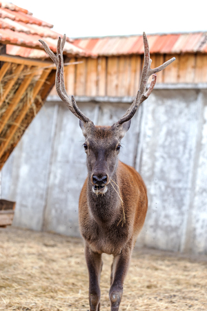 Deer hunting in the paddock on a farm being treated. Family of deer in the spacious aviary zoo Stock Photo