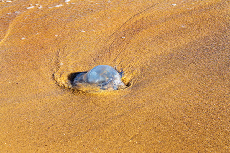 The massive invasion of large marine jellyfish on the beaches due to a sharp cooling water. Autumn okupatsiya Huge jellyfish sea beaches. Risk of burns on the coast for holidaymakers