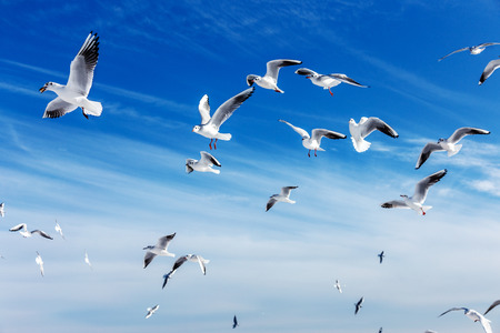 Hungry gulls circling over the winter beach in search of food on a background of sea and blue sky. Sea birds in flight in search of food. 免版税图像