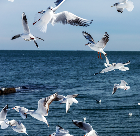 Hungry gulls circling over the winter beach in search of food on a background of sea and blue sky. Sea birds in flight in search of food. Stock Photo