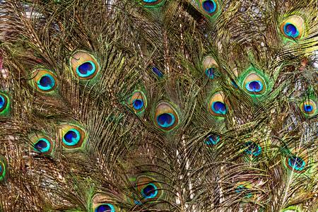 어두운 배경에 몇 가지 다채로운 공작 새 깃털로 추상적 인 배경 스톡 콘텐츠