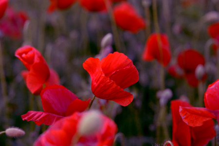 Flowers Red poppies blossom on wild field. Beautiful field red poppies with selective focus. Red poppies in soft light. Opium poppy. Glade of red poppies. Toning. Creative processing in dark low key