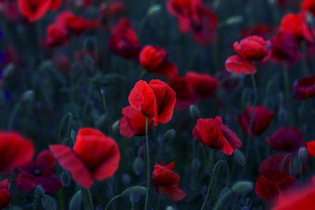 Flores Amapolas rojas florecen en campo salvaje. Hermoso campo de amapolas rojas con enfoque selectivo. Amapolas rojas en luz tenue. Amapola de opio. Claro de amapolas rojas. Viraje. Procesamiento creativo en clave oscura oscura Foto de archivo