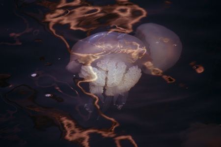 Congestion Millions of jellyfish floating in the sea lagoon as a result of penetration of cold flow. Danger to people swimming. As an unusual background for decoration and creative design