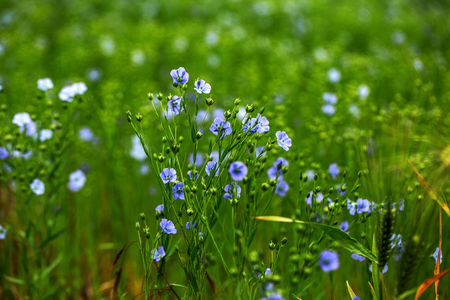 Bright delicate blue flower of ornamental flower of flax and its shoot against complex background. Flowers of decorative flax. Agricultural field of flax technical culture in stage of active flowering
