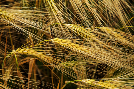 Wheat field. Ears of golden wheat close up. Beautiful nature landscape nature. Rural landscape of good grain harvest. Background of ripening ears of field of meadow wheat. The concept of rich harvest