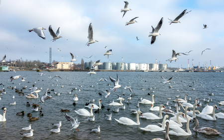 Many wild ducks and swans in the cold winter water of the bay ask people for food. Hungry wild gulls and swans compete for food in the winter in open water. Seabirds winter in the open sea bay